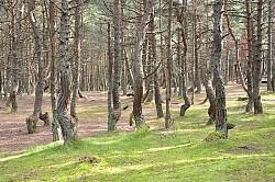 Khu rừng độc đáo chỉ có ở Nga
